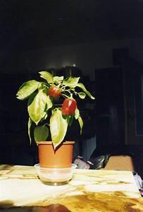Tomaten In Der Wohnung : kr uterzucht in der wohnung seite 2 allmystery ~ Lizthompson.info Haus und Dekorationen