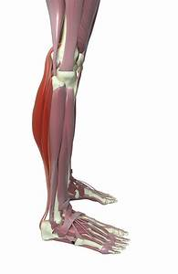 Gastrocnemius And Soleus Muscle Photograph By Medicalrf Com