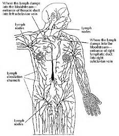 Lymphatic System And Immune System Cancerindex Photos  Immune System Lymph Nodes