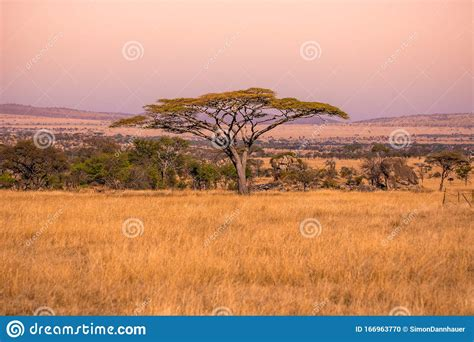 Panoramic Image Of A Lonely Acacia Tree In Savannah In