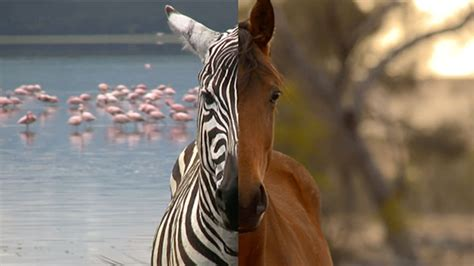 zebras horses ride why don cgp grey dont