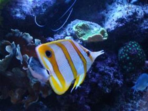 poisson aquarium eau de mer poisson de mon aquarium eau de mer chelmon passera une ombre dans la lumi 232 re obscure
