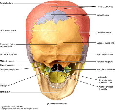 Tag Human Skull Anatomy Posterior Archives Human