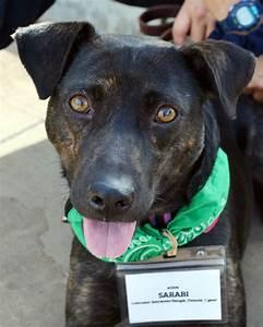 sarabi adopted labrador retriever beagle mixed dog for adoption