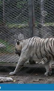 Bengal White Tiger Ferocious Wildlife King Of The Jungle ...