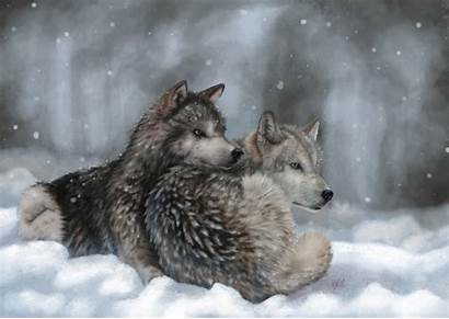 Wolf Snow Wolves Winter Lying Wallpapers Wallpaperup