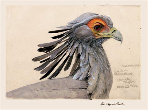 secretary bird cthe field museum gn offu