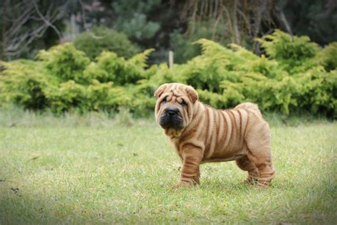 5 Wrinkly Dog Breeds