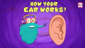 How Your Ear Works