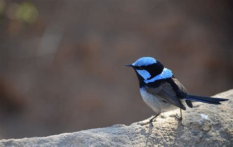photo wren bird superb fairy wren  image