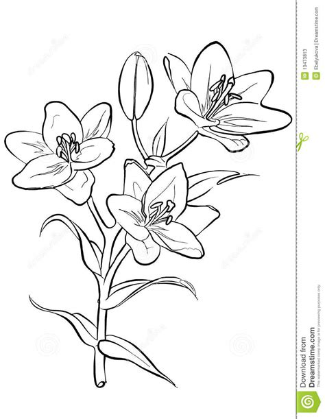 Azuzena Flower Template by Lilies Freehand Drawing Stock Vector Illustration Of