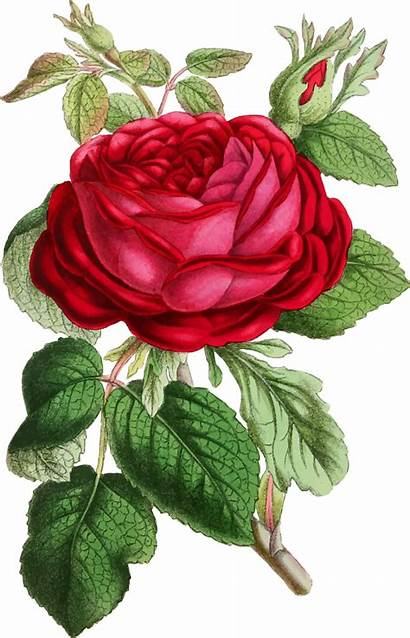 Rose Illustration Clipart Valentine Germany Filipinos Generous