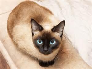 thai cat siam cat thai cat or siam cat is the same