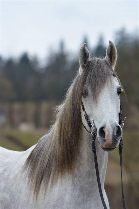 edle araber pferde foto bild tiere haustiere pferde
