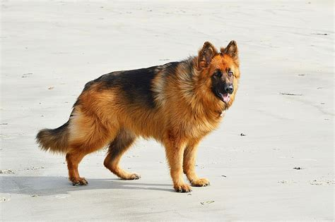 Ficheirolong Haired German Shepherd  Ee  Dog Ee   Jpg Wikipedia