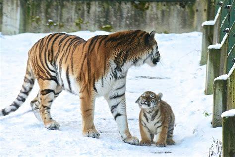 Bébé Tigre Super Content