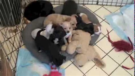 Six Week Old Chihuahua Puppies For Sale Fredericksburg Va You