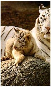 Cute Baby Tiger Wallpaper - WallpaperSafari