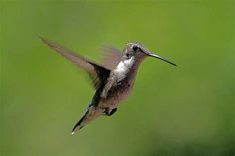ruby throated hummingbird bernardsville nj flickr