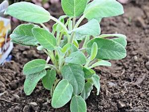 La Sauge Plante : la sauge qui a de la sauge dans son jardin n a pas besoin de m decin loovence ~ Melissatoandfro.com Idées de Décoration