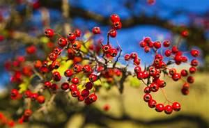Baum Mit Roten Beeren : baum mit roten beeren stockfoto bild von ernte b ndel 45464772 ~ Markanthonyermac.com Haus und Dekorationen