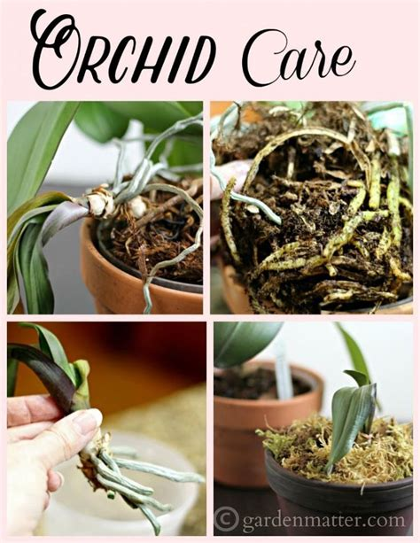 how to grow orchids 72 best orchids images on pinterest gardening growing orchids and indoor gardening