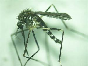 It Survey Questions For Employees Female Mosquito Aedes Japonicus Reared From Larvae
