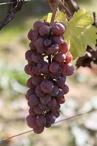 Format Raisin Dimension : vignoble du martinet de beaulieu sur layon vignoble du ~ Melissatoandfro.com Idées de Décoration