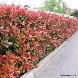 Red Robin Baum : photinia red robin hedge gartenzaun ideen und inspiration pinterest garten ideen garten ~ Frokenaadalensverden.com Haus und Dekorationen