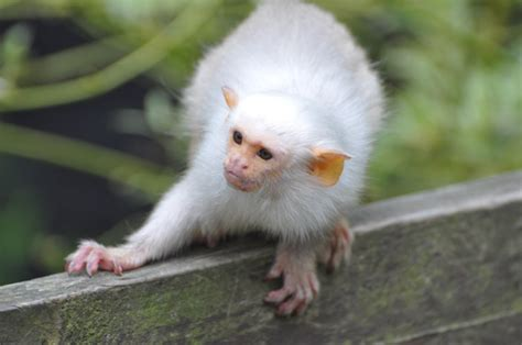 cute animal pictures   day silvery marmosets run