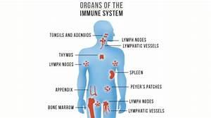 Fasting Triggers Immune System Regeneration