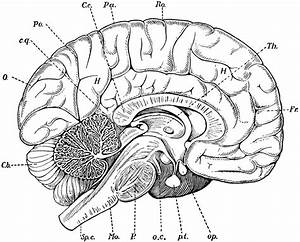Blank Diagram Of The Inside Of The Brain Blank Brain