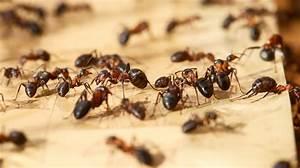 Ameisennest Im Haus : ameisen im blumentopf beautiful natrliche hausmittel gegen ameisen ameisen with ameisen im ~ Markanthonyermac.com Haus und Dekorationen