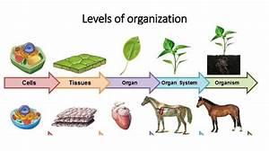 levels of biological organization презентация онлайн