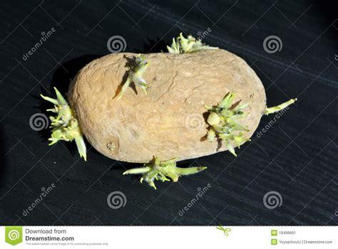 pomme de terre germ 233 e image stock image 19499661