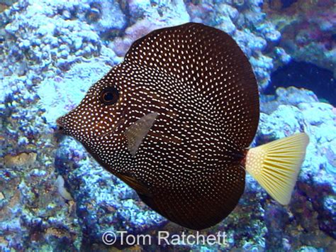 gem tang fish care size lifespan tankmates breeding
