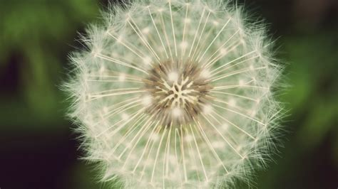 white dandelion wallpapers images  pictures backgrounds