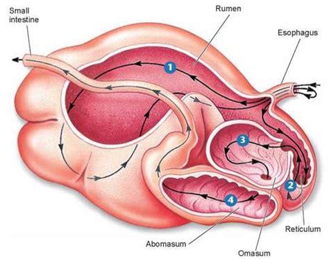 stomach ruminant living rumen ruminants path food chambered four digestive variations through mammals figure body schoolbag biology info