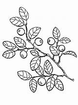 Coloring Pages Blueberries Berries sketch template
