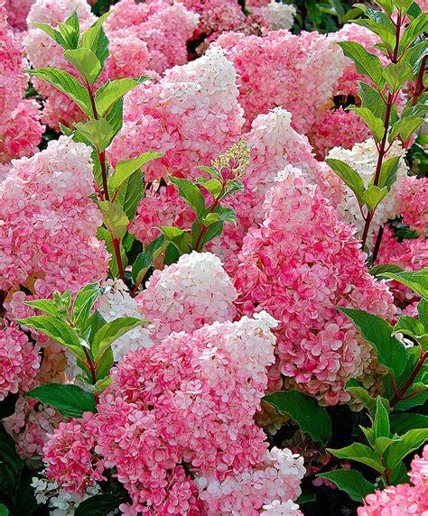 hortensia vanille fraise kaufen sie jetzt zierstrauch rispenhortensie vanille fraise kaufen bakker