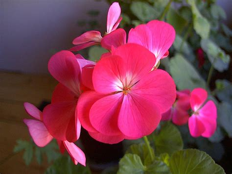 picture of geranium flower geranium flower pictures wild red geranium flowers