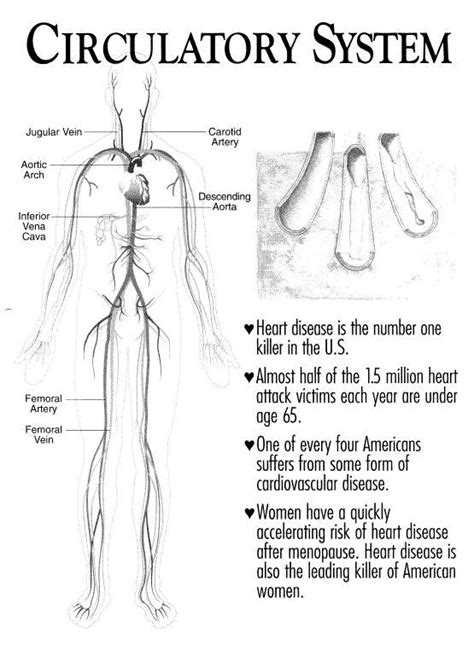 23 Best C11 Cardiovascular System Images On Pinterest  Circulatory System, Heart Anatomy And
