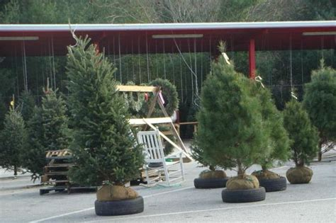 balled christmas tree selection and care of living trees nc state extension publications