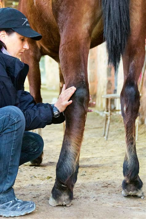 phlegmone der einschuss beim pferd