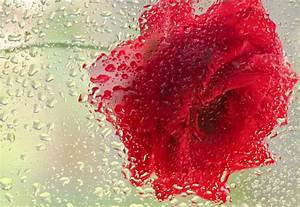 Red Rose In The Rain Photograph by Don Schwartz