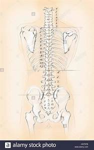 Diagram Of The Human Spine With Numbers For Cervical