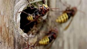 Was Wespen Nicht Mögen : wespen uns hornissen sind friedlich solange man sie nicht reizt syke ~ Markanthonyermac.com Haus und Dekorationen