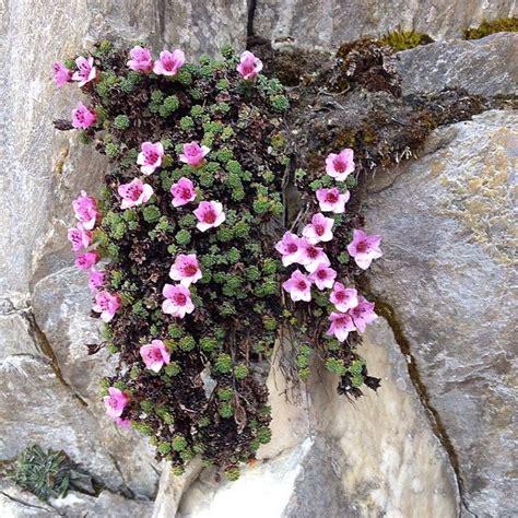 fiori di san giuseppe erba di san giuseppe i fiori delle alpi apuane parco