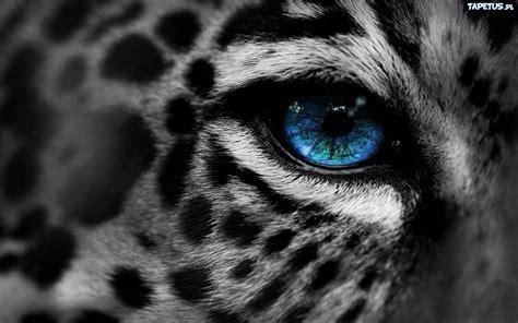 lampart niebieskie oko