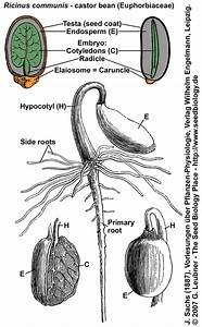 Where Does A Germinating Dicotyledon Seed Obtain Food For
